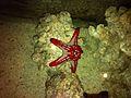 Starfish -Dubai Aquarium.jpg