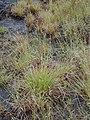 Starr-011205-0104-Hyparrhenia rufa-habit-Hwy11 HAVO-Hawaii (23915744804).jpg
