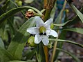 Starr-030202-0085-Myoporum sandwicense-flower-Wailea 670-Maui (24511532592).jpg