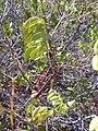 Starr-030716-0061-Senna gaudichaudii-leaves and seed pods-Kanaio-Maui (24010567263).jpg