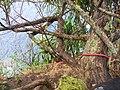 Starr-050405-5901-Schinus terebinthifolius-habit and rope setup-Keopuka-Maui (24625234102).jpg