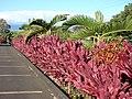 Starr-070111-3091-Cordyline fruticosa-hedge-Holy Rosary Church Baldwin Ave-Maui (24510736549).jpg