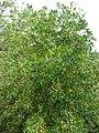Starr-090421-6207-Olea europaea subsp cuspidata-fruiting habit-Pukalani-Maui (24858987171).jpg