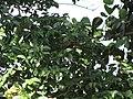 Starr-090720-3195-Hymenaea courbaril-flower buds and leaves-West Main Wailuku-Maui (24602456719).jpg