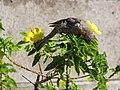 Starr-090806-4010-Turnera ulmifolia-flowering habit with house finch foraging-Kahului-Maui (24971756685).jpg
