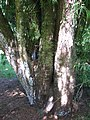 Starr-091104-0901-Podocarpus gracilior-base-Kahanu Gardens NTBG Kaeleku Hana-Maui (24620184579).jpg