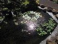 Starr-100114-1273-Nymphaea sp-habit in water garden-Enchanting Floral Gardens of Kula-Maui (24380060573).jpg