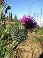 Starr-110727-7936-Cirsium vulgare-flower-Polipoli-Maui (25008629141).jpg