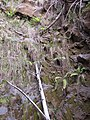 Starr-111129-1539-Polystichum sp-cliff habit-Polipoli-Maui (25002353632).jpg