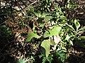 Starr-120406-4353-Pluchea carolinensis-leaves-Kawela Bridge-Molokai (24511978613).jpg