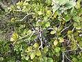 Starr-120425-4808-Metrosideros polymorpha-with Argiope appensa spider-Waikapu Valley-Maui (24509032314).jpg