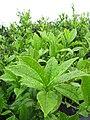 Starr-120620-7481-Camellia sinensis-leaves-Kula Agriculture Station-Maui (24518912393).jpg
