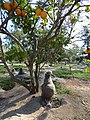 Starr-150326-0704-Citrus sinensis-Laysan Albatross chicks in nests-Citrus Grove Town Sand Island-Midway Atoll (25266731535).jpg
