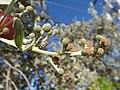 Starr-160717-0238-Conocarpus erectus-fruit leaves-Vitas Healthcare Delray Beach-Florida (29377431690).jpg