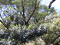 Starr 010715-0035 Ficus cf. platypoda.jpg