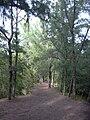 Starr 031108-0097 Casuarina equisetifolia.jpg