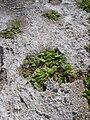 Starr 050223-0082 Portulaca lutea.jpg