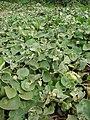 Starr 061129-1699 Solanum nelsonii.jpg