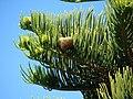 Starr 061224-2857 Araucaria columnaris.jpg