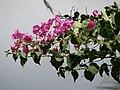 Starr 070206-4206 Bougainvillea sp..jpg