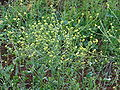 Starr 070302-5038 Brassica nigra.jpg