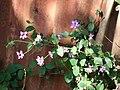 Starr 070403-6355 Lantana montevidensis.jpg