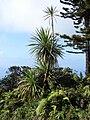 Starr 070405-6789 Cordyline australis.jpg