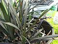 Starr 070906-8508 Ophiopogon planiscapus.jpg