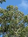 Starr 090213-2480 Syzygium cumini.jpg
