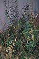 Starr 980630-1509 Lepechinia hastata.jpg