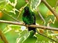 Steely-vented Hummingbird (Amazilia saucerrottei).jpg