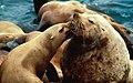 Stellar Sea Lions.jpg