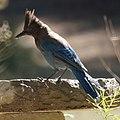 Steller's Jay (7619472166).jpg