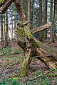 Sternwalddrache (Thomas Rees) jm26419.jpg
