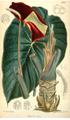 Steudnera colocasiifolia CBM.png