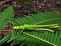 Stick Insect (Calvisia punctulata) found dead on the trail (6658685263).jpg