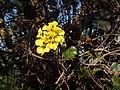 Stigmaphyllon diversifolium - Morne Malendure.JPG