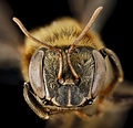 Stingless bee 3, f, face, peru 2014-07-30-13.12.18 ZS PMax (15835671131).jpg