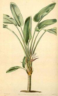 Strelitzia alba00.jpg