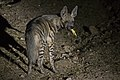 Striped Hyena - Dahod, Gujarat.jpg