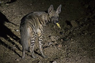 Striped hyena scavenging on poultry waste in Dahod district, Gujarat, India Striped Hyena - Dahod, Gujarat.jpg