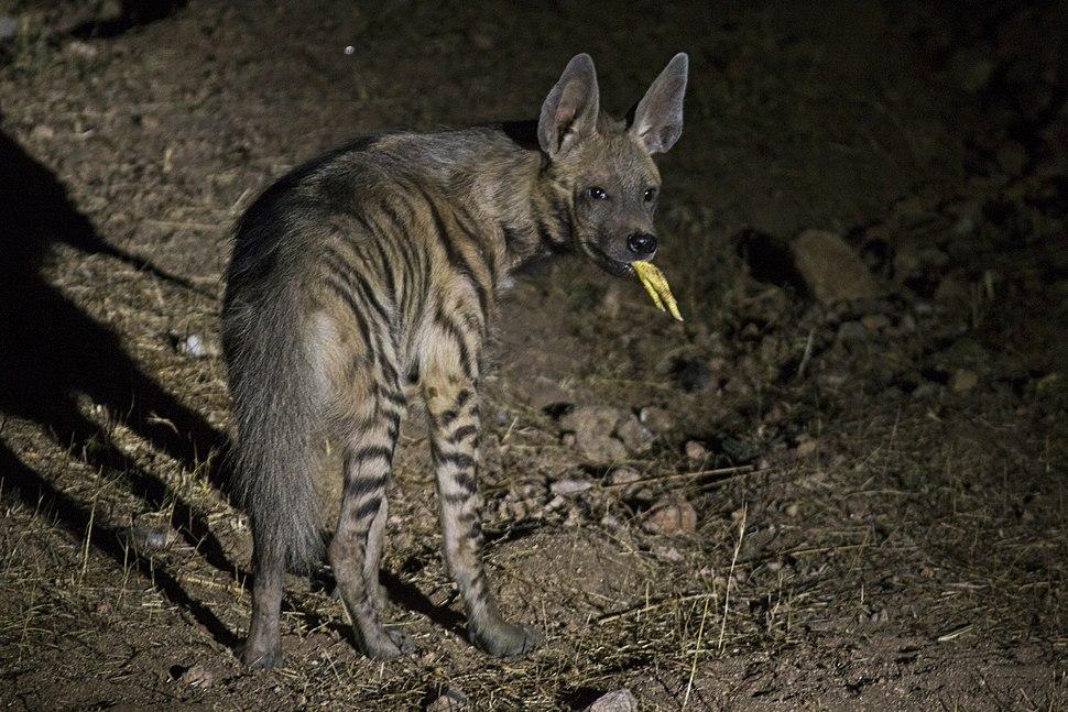 Striped Hyena - Dahod, Gujarat