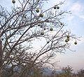 Strychnos spinosa tree.jpg