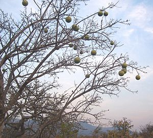 Strychnos spinosa tree.jpg