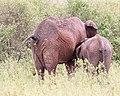 Suckling elephant calf (46207880194).jpg
