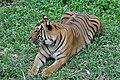 Sumatran tiger (11931767735).jpg