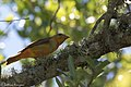 Summer Tanager ( 1st year male) Anahuac NWR - Woodlot TX 2018-04-25 12-12-56 (28196312928).jpg