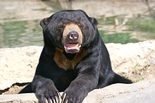 sun bears are brown