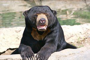 Sun bear - Image: Sun Bear 3