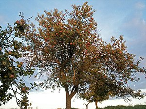 English: Sunset apples. Not a variety but appl...
